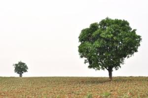 Big tree little tree